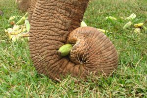 Elephant trunk (Thailand)