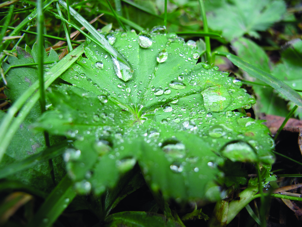Thingvellier National Park (Iceland) - green leaf