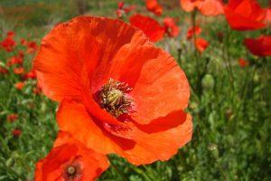 poppy-flower-catalunya