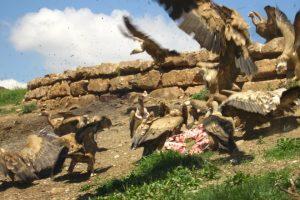 vultures-catalunya