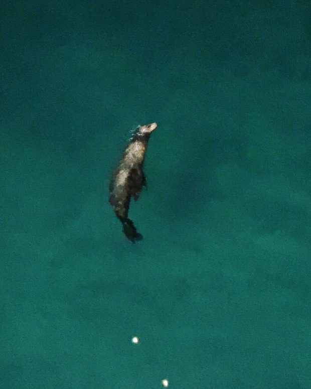 Sea Lion from the pier - California