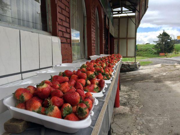 Poas Volcano Strawberries - Tropical Fruits in Costa Rica