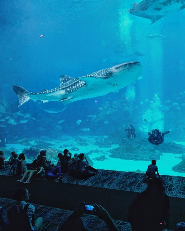 whale shark in Georgia Aquarium